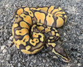 Pastel Enchi Ghost for sale