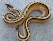 Genetic Stripe Ball Python for sale