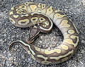 Pastel Butter Ghost Ball Python for sale