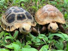 Travancore x Elongated Tortoises for sale.