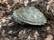 Cagles Map Turtle for sale