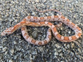 Strawberry Anerythristic Corn Snakes for sale