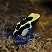 Cobalt Dart Frog  For Sale - Dendrobates tinctorius
