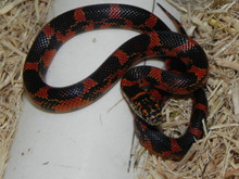Blotched Goins Kingsnakes for sale