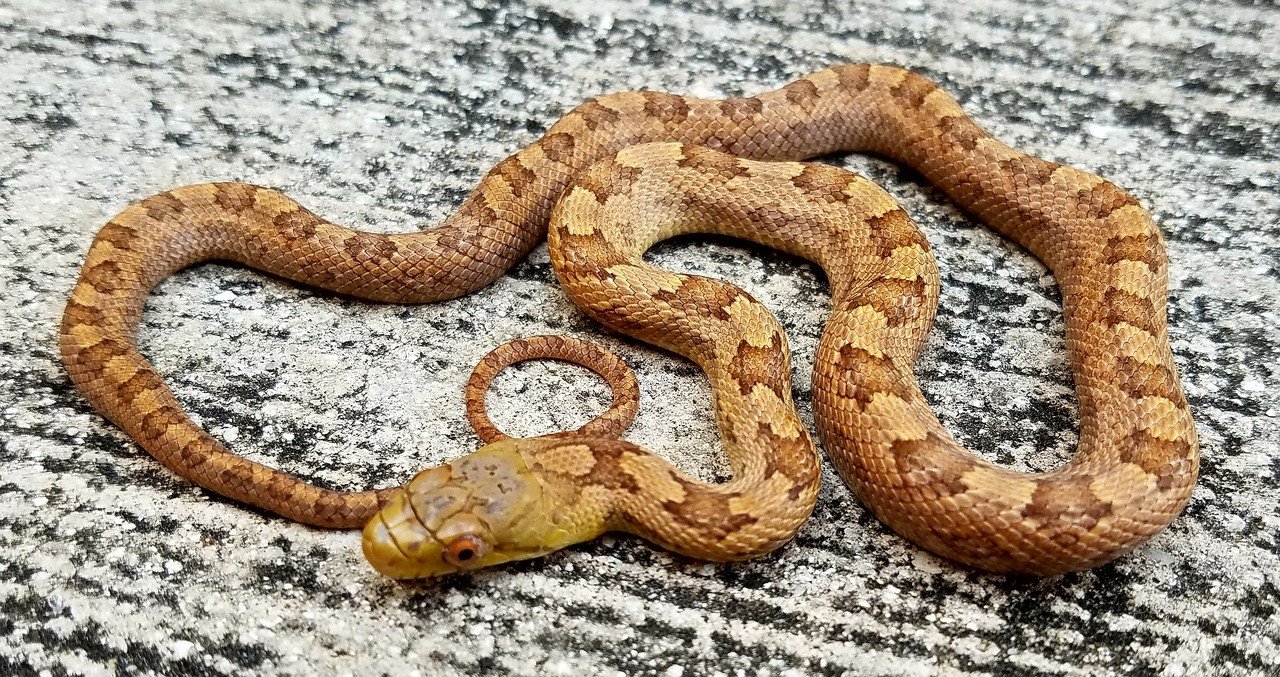 Everglades Rat Snake for Sale (Elaphe obsoleta rossalleni)