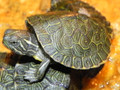 Hieroglyphic Cooter For Sale