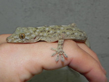 Marble Gecko for Sale