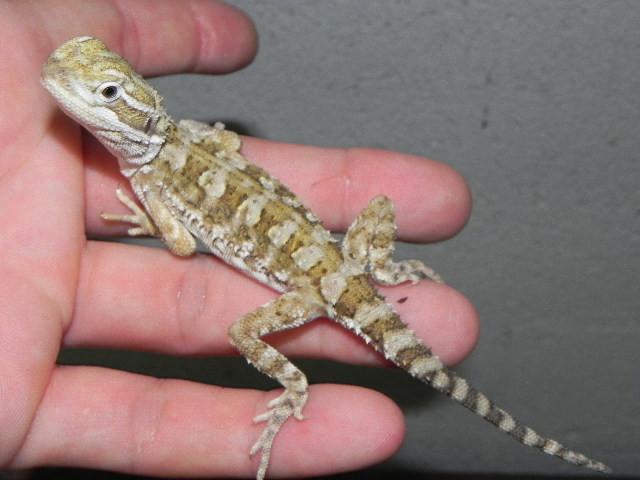 Rankins Dragon for Sale (Pogona henrylawsonii)