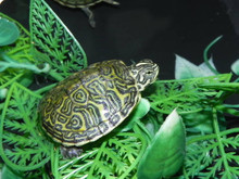 Florida Redbelly Turtle for Sale