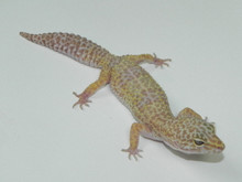 sale Adult leopard geckos for
