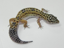 adult leopard of geckos Pic