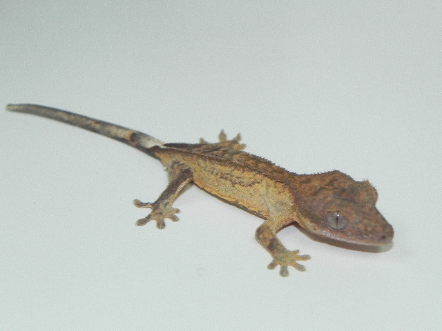 Crested Gecko for sale (Rhacodactylus ciliatus)