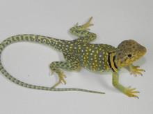 Eastern Collard Lizards for sale