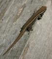 Cape Dwarf Geckos for sale (Lygodactylus capensis)