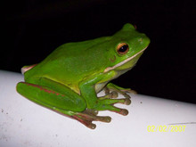 White Lip Tree Frogs for sale