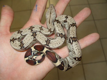 Suriname Red Tail Boas for sale