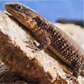 Armadillo Lizards for sale (Cordylus tropidosternum)