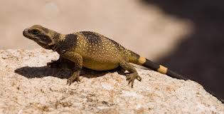 Chuckwalla Lizards for sale