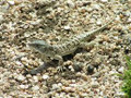 Steppe Runner Lizard for sale