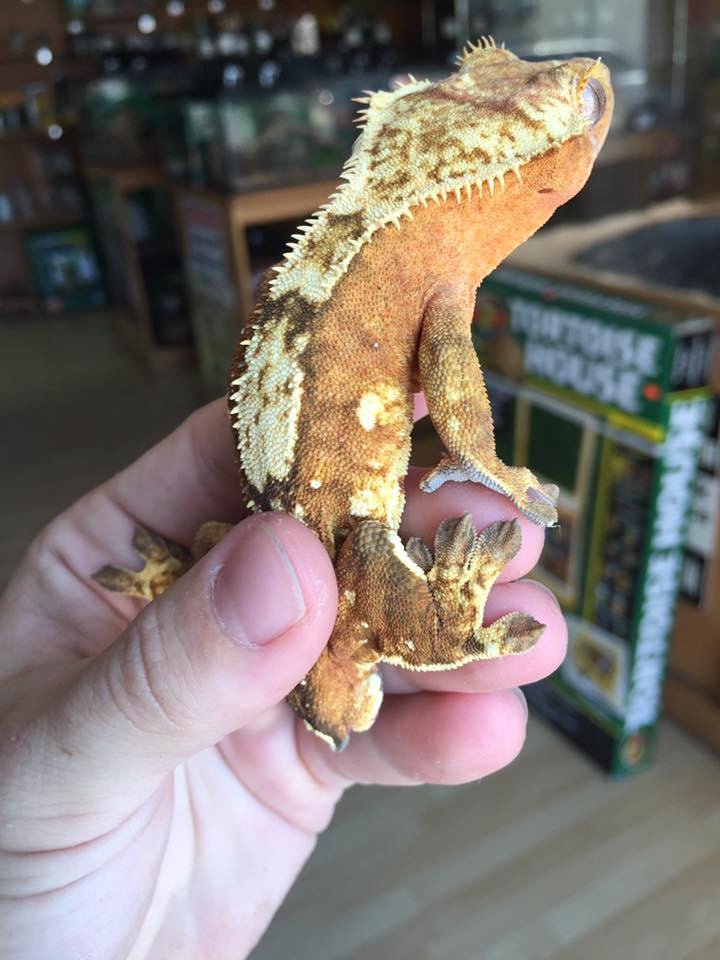 Crested Geckos for sale - no tail (Rhacodactylus ciliatus)