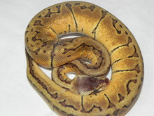Lemon Blast Ball Pythons for sale
