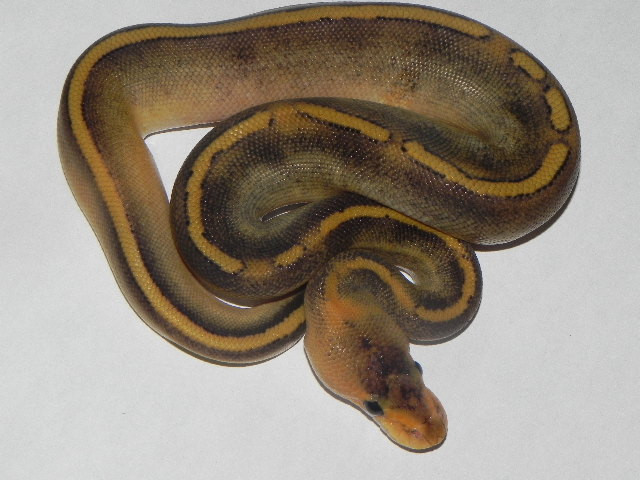 Champagne Ball Pythons for sale (Python regius)