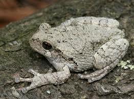 Grey Tree Frog for sale (Hyla versicolor)