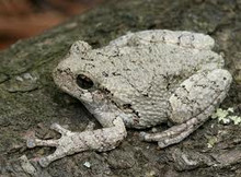 Grey Tree Frog for sale