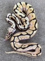 Bumble Bee Ball Pythons for sale