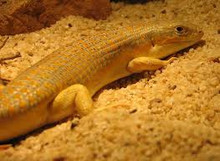 Schneiders Skink for sale