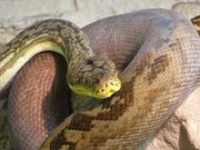 Timor Python for sale