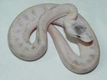 Pastel Champagne Ball Python for sale