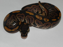 Ball Python for sale