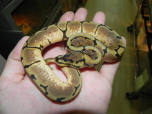 Spider Ball Python for sale