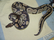 Normal Adult Female ball Pythons for sale