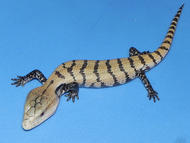 Baby/Juvenile Blue Tongue Skink for sale (Tiliquia scincoides/gigas)