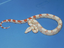 Albino Boa Constrictors for sale
