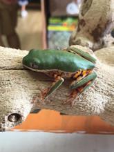 Tiger Leg Frog for sale | Snakes at Sunset