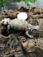 Thomasi Uromastyx for sale | Snakes at Sunset