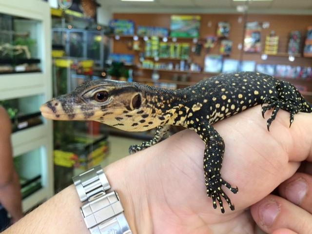 Asian Water Monitors for sale (Varanus salvator)