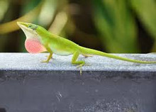 Green Anole for sale - male