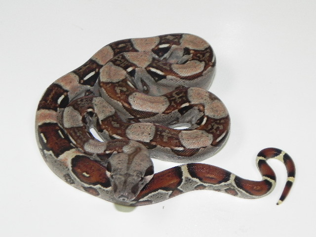 Colombian Red Tail Boa Constrictor for sale (Boa constrictor imperator)