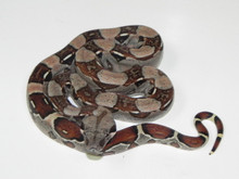 Colombian Red Tail Boa Constricor