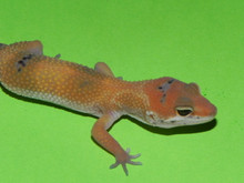 Enigma Leopard Gecko for sale