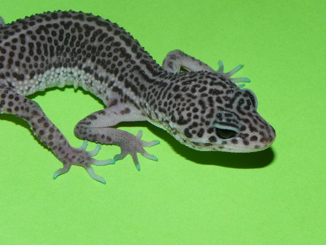 Mack Super Snow Leopard Geckos for sale(Eublepharis macularius)