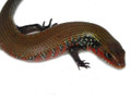 African Fire Skink for sale (Riopa fernandi)