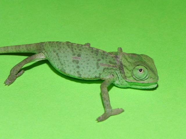 chameleons dating