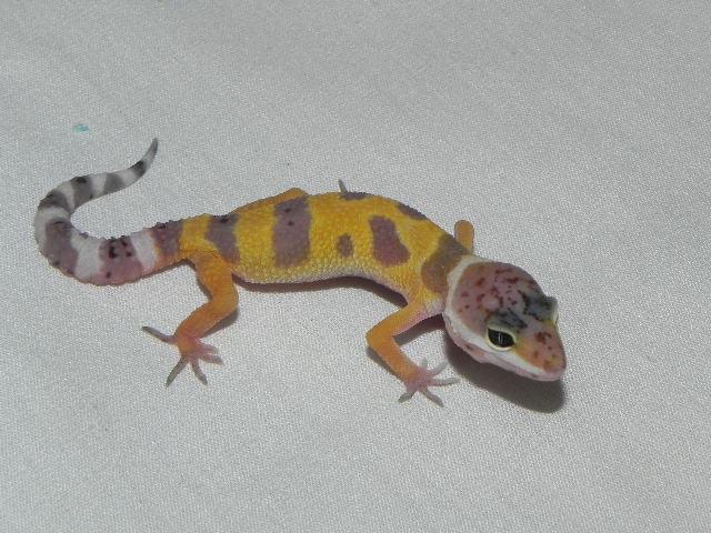 Baby Leopard Geckos for sale (Eublepharis macularius)
