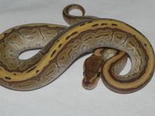King Pin Ball Python for sale