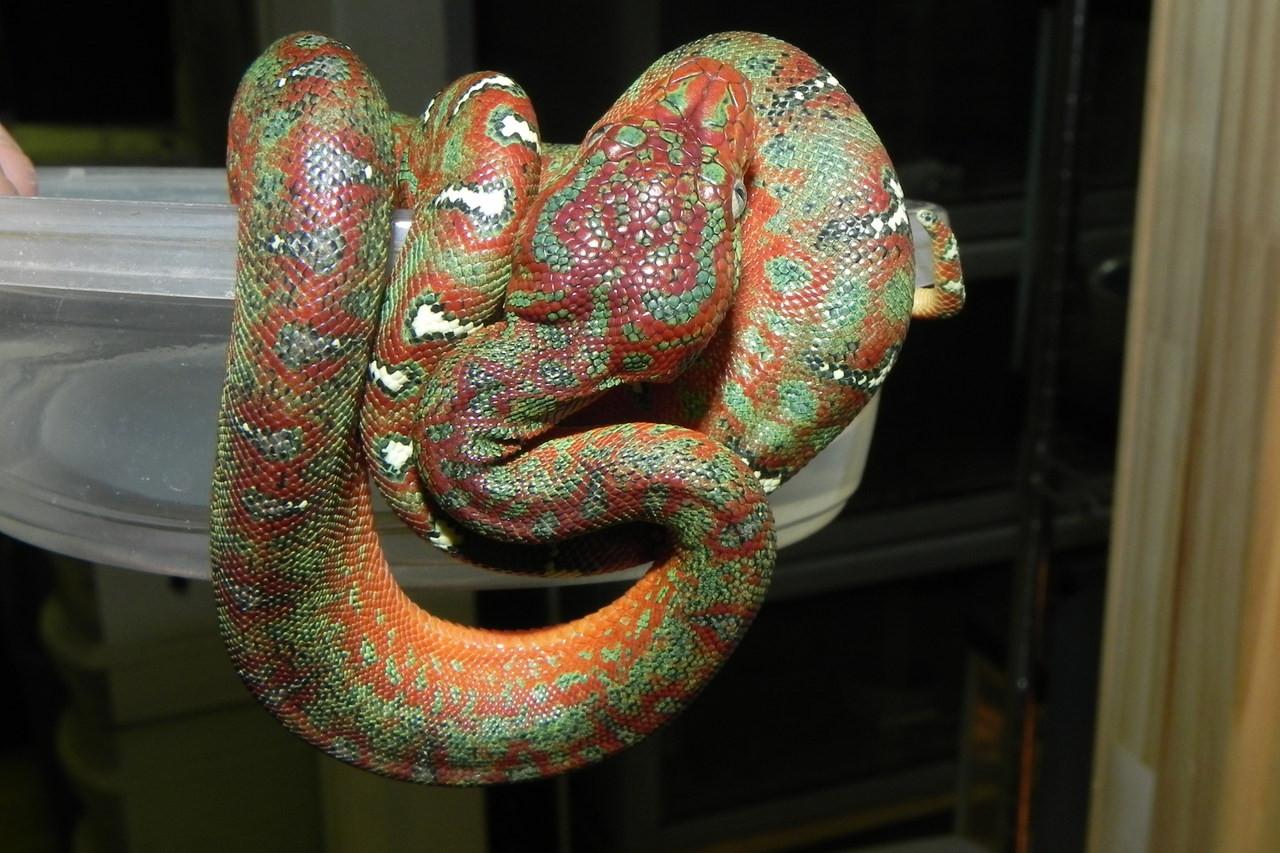 Baby Emerald Tree Boas for sale (Corallus caninus)